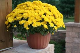 Pot of Yellow Mums