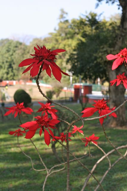 Bright red poinsettias forgeround, Himalayas, background