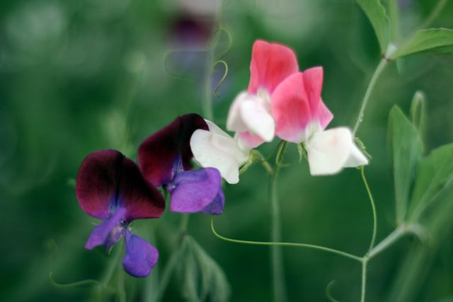 Purple and pink sweetpeas, tender, tenacious stems
