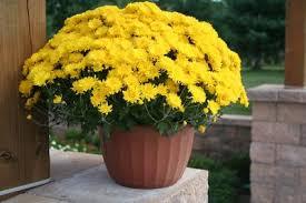 Pot of Yellow Mums