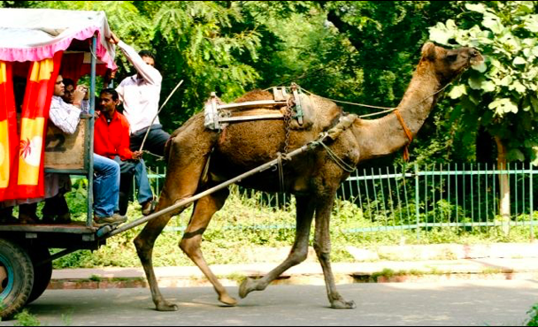 Camel pulls a cart with Indian men sitting in it